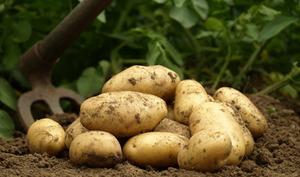 Les pommes de terre primeur