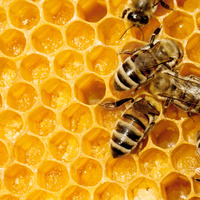 Petite histoire du miel